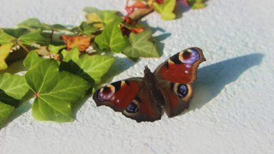 Aypar-com Butterfly